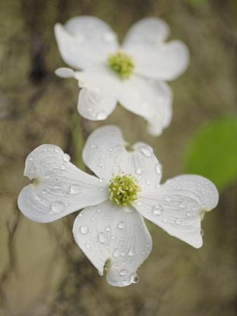 Flowering Dogwood Tree Blossom, South Carolina, Cornus Florida by Adam Jones
