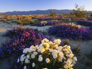 Flowers Growing on Desert, Anza Borrego Desert State Park, California, USA by Adam Jones