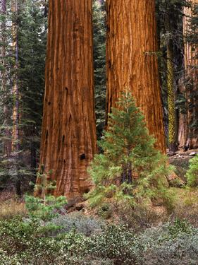 Giant Sequoias, Yosemite National Park, California, USA by Adam Jones