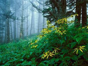 Golden-Glow Flowers, Great Smoky Mountains National Park, North Carolina, USA by Adam Jones