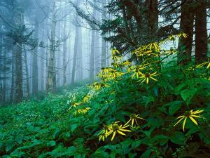 Golden-Glow Flowers, Great Smoky Mountains National Park, North Carolina, USA by Adam Jones