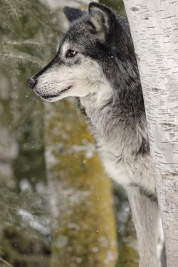Gray Wolf in winter, Canis lupus, Montana by Adam Jones