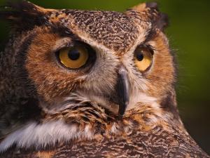 Great Horned Owl by Adam Jones