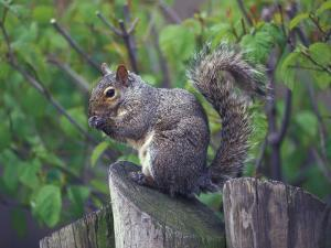 Grey Squirrel on Fencepost by Adam Jones