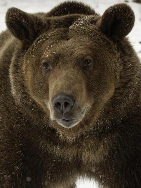 Grizzly Bear in winter, Ursus Arctos, Montana by Adam Jones