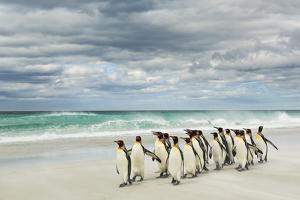 Group of King Penguins on beach, Volunteer Point, East Island, Falkland Islands by Adam Jones
