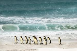 Group of King Penguins on beach, Volunteer Point, Falkland Islands, Aptenodytes patagonicus by Adam Jones