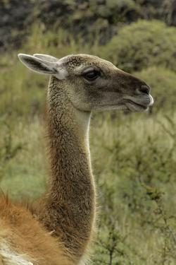 Guanaco portrait, Torres del Paine National Park, Chile, Patagonia by Adam Jones