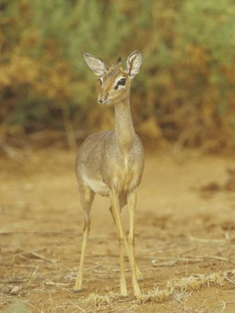 Guenther's Dik-Dik, Madoqua Guentheri, Samburu, Kenya, Africa by Adam Jones