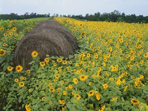 Hay Bale in Sunflowers Field, Bluegrass Region, Kentucky, USA by Adam Jones