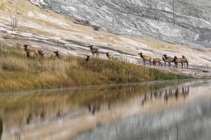 Herd of Elk and Reflection, Canary Spring, Yellowstone National Park, Wyoming by Adam Jones