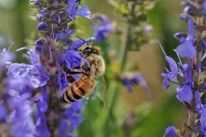 Honey Bee Collecting Nectar, Apis Mellifera, Kentucky by Adam Jones