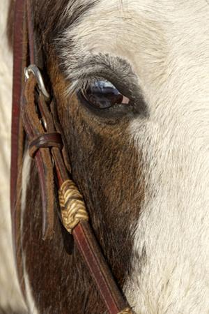 Horse close-up in winter, Kalispell, Montana. by Adam Jones