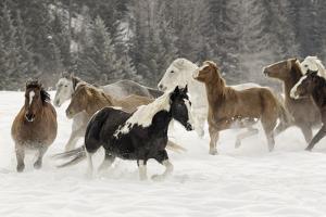 Horse roundup in winter, Kalispell, Montana by Adam Jones