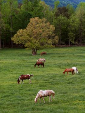 Horses Grazing in Meadow, Cades Cove, Great Smoky Mountains National Park, Tennessee, USA by Adam Jones