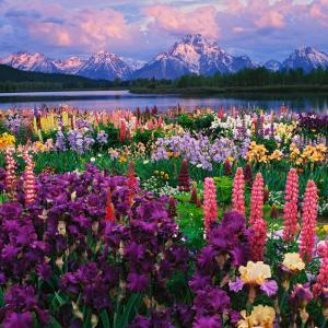 Iris and Lupine Garden and Teton Range at Oxbow Bend, Wyoming, USA by Adam Jones
