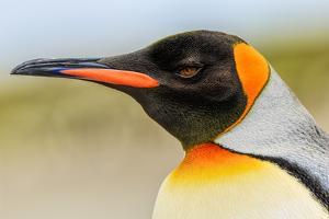 King Penguin, Volunteer Point, East Island, Falkland Islands, Aptenodytes patagonicus by Adam Jones