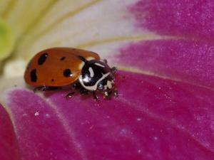 Ladybug Beetle by Adam Jones