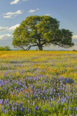 Large oak tree in expansive meadow of bluebonnets and paintbrush, Texas hill country, near Llano, T by Adam Jones
