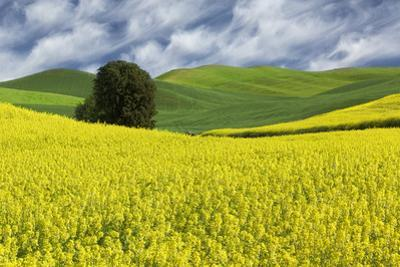 Large rolling field of yellow canola and wheat, with single tree, Palouse farming region of Eastern by Adam Jones