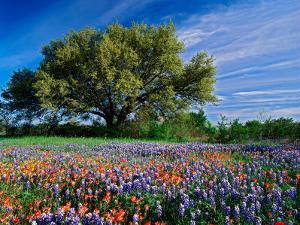 Live Oak, Paintbrush, and Bluebonnets in Texas Hill Country, USA by Adam Jones