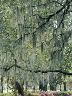 Live Oak Tree, Savannah, Georgia, USA by Adam Jones