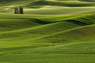 Lone pine trees among rolling hills of wheat, Palouse region of Eastern Washington State. by Adam Jones