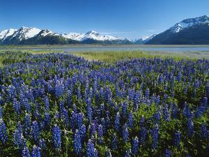 Lupine and Kenai Mountains, Kenai National Wildlife Refuge, Alaska, USA by Adam Jones