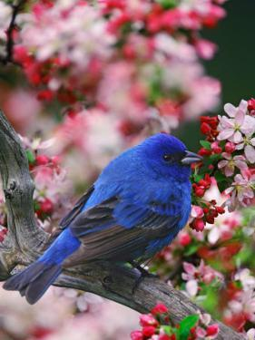Male Indigo Bunting Among Crabapple Blossoms by Adam Jones