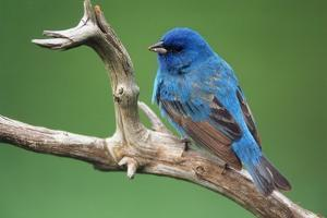 Male Indigo Bunting, close-up by Adam Jones