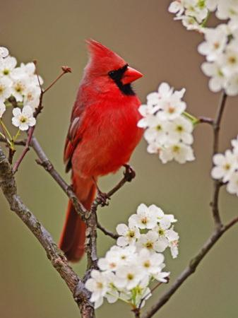 Male Northern Cardinal Among Blossoms of Pear Tree by Adam Jones
