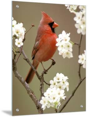 Male Northern Cardinal by Adam Jones