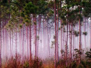Mist Among Pine Trees at Sunrise, Everglades National Park, Florida, USA by Adam Jones