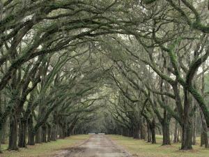 Moss-Covered Plantation Trees, Charleston, South Carolina, USA by Adam Jones