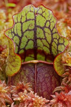 Northern Pitcher Plant, Sarracenia Purpurea, Hiawatha National Forest by Adam Jones