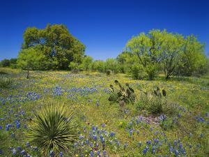 Oak and Mesquite Tree with Bluebonnets, Low Bladderpod, Texas Hill Country, Texas, USA by Adam Jones