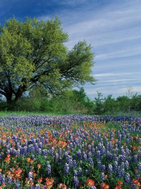 Paintbrush and Bluebonnets, Hill Country, Texas, USA by Adam Jones