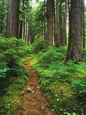 Path Through Old-Growth Rainforest, Olympic National Park, Washington, USA by Adam Jones