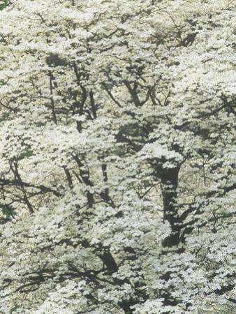 Pattern of Flowering Dogwood Blossoms in the Spring, Cornus Florida, Eastern USA by Adam Jones