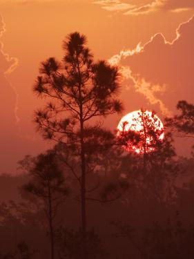 Pines Silhouetted at Sunrise, Everglades National Park, Florida, USA by Adam Jones