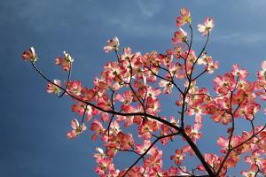 Pink dogwood tree against blue sky, Lexington, Kentucky by Adam Jones