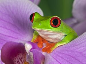 Red-Eyed Tree Frog by Adam Jones