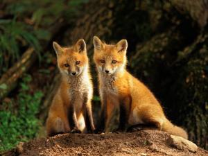 Red Fox near Den Entrance by Adam Jones
