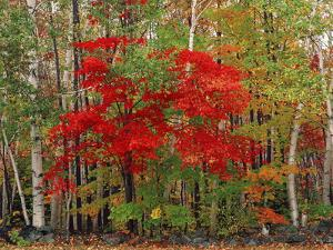 Red Maple and White Birch, White Mountains National Forest, New Hampshire, USA by Adam Jones