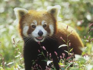 Red Panda (Ailurus Fulgens) an Endangered Species, Himalayas by Adam Jones