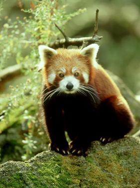 Red Panda, Ailurus Fulgens by Adam Jones