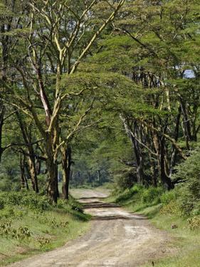 Road beneath Yellow Fever Acacia, Lake Nakuru National Park, Kenya by Adam Jones