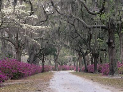 Road Lined with Azaleas and Live Oaks, Quercus Virginiana, Draped with Spanish Moss by Adam Jones