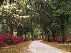 Road Lined with Azaleas and Live Oaks, Spanish Moss, Savannah, Georgia, USA by Adam Jones