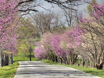 Road Lined with Redbud and Dogwood Trees in Full Bloom, Lexington, Kentucky, Usa by Adam Jones